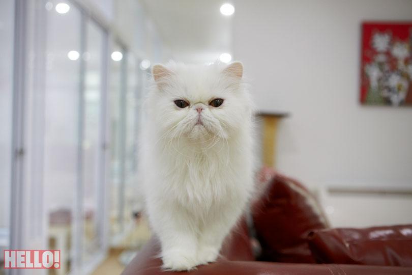 champion-persian-cat-of-asia_09