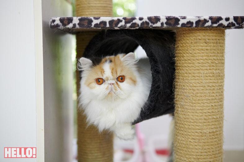 champion-persian-cat-of-asia_10
